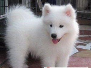 纯种萨摩耶爱犬出售
