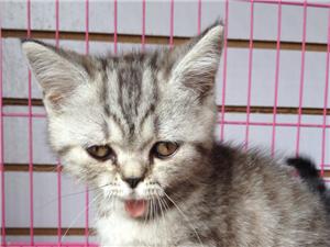 出售可愛、呆萌的英國短毛貓