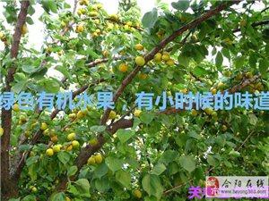 杏子熟了大量出售