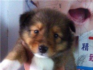 赛级品质 喜乐蒂 生的2个月小公狗