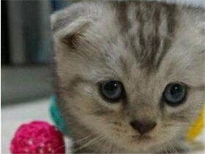 (转让)个人诚心赠送自家养的英格兰折耳猫啦 很可爱
