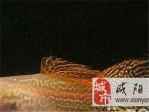 (转让)剥离蕾丝猫孔雀鱼