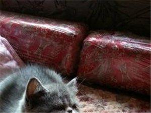 (转让)可爱的加菲猫找主人了