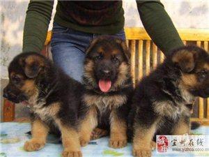 健康德牧幼犬保证健康已做完疫苗驱虫终抑-1
