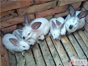 出售正宗加利福尼亚品种八点黑兔子幼崽