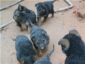 出售土狼狗小崽有意聯繫