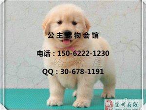 赛级金毛寻回猎犬终身保障健康纯种江苏快3开奖结果啦创靥-1