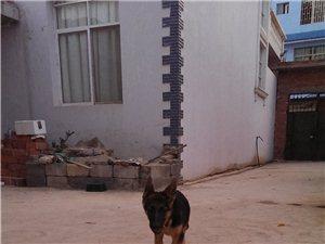 德国牧羊犬