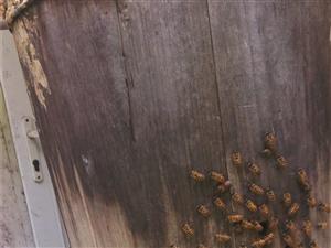 优质土蜜蜂出售