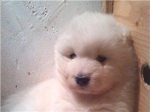 出售各种宠物世界名犬