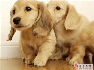 出售预定英国可卡幼犬