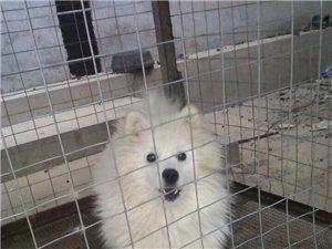 �信本地�_摩耶�白幼犬出售