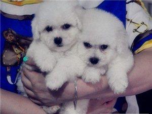 家养比熊幼犬,纯种健康保证,纯白色海绵宝宝