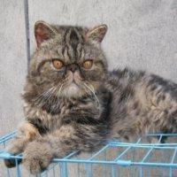超萌的加菲貓出售
