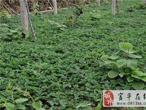 大量出售脫毒草莓苗