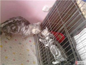 虎斑猫,短毛小猫咪预售中。