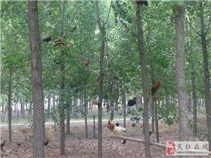 民权申甘林带生态林柴鸡散养基地