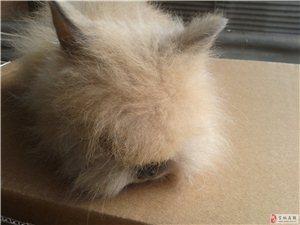 肉兔,寵物兔