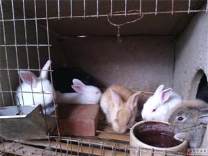 出售肉兔子