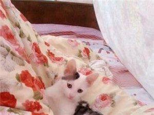 波斯猫串串求领养