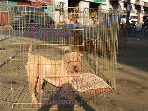 白黄沙皮种犬