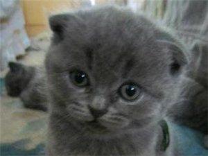 我家的小蓝猫要找新主人啦