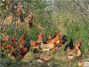 散養土雞/土雞蛋