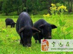 乡村香猪销售