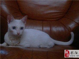 家有仙猫白毛蓝眼睛寻爱猫人士领养猫贩子绕道