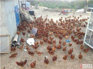 延吉市新兴养殖场出售纯散养土鸡土鸡蛋