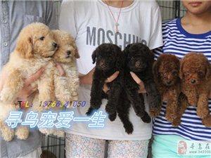 出售泰迪幼犬,微小体型,