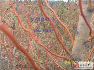 紅珊瑚柳、美國變色金絲雄性紅垂柳、挪威槭、紅肉蘋果