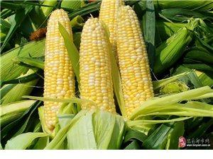 可以生吃的水果玉米