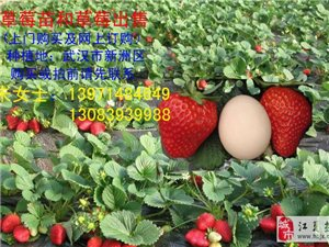 草莓苗出售預訂