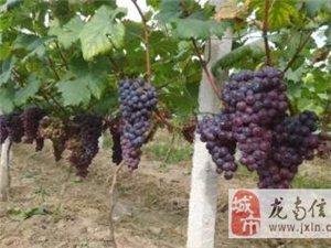 龍南縣渡江鎮圩上紅河岸葡萄園葡萄熟了−−-歡迎親摘