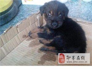 送小狗一只品种不详 白送