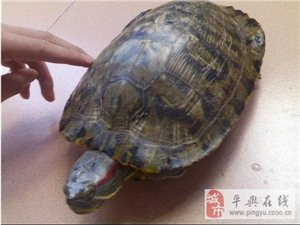 一只养了近20年的巴西龟被偷