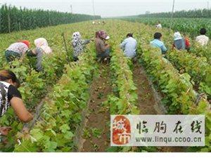 山東優質套袋巨峰葡萄產地濰坊臨朐冶源