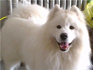 萨摩犬出售