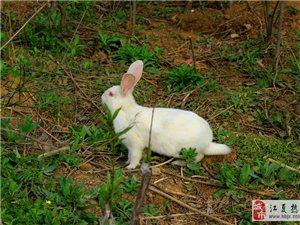 武汉市江夏兔子养殖基地卖兔