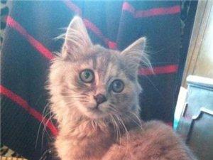 五个月的挪威森林猫转让
