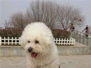寻狗启示.白色比熊犬