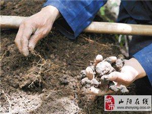 狗亚体育ios版县猪苓种植基地出售大量猪苓种子
