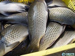 本地养殖户鱼直接对外批发