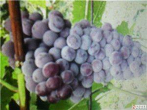 巨峰葡萄出售