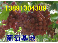 陜西葡萄價格|陜西紅提葡萄產地行情
