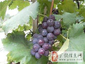 大量优质葡萄批发
