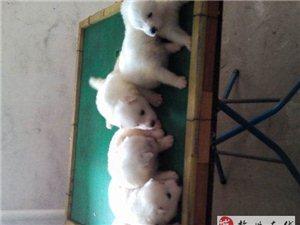 純種雪白薩摩寵物狗出售