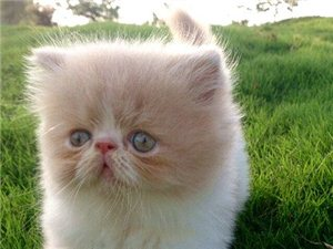出售异短加菲猫幼猫
