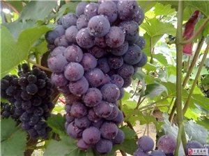 葡萄熟了,欢迎大家来采摘!